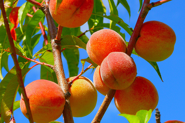 All About Them Peaches – DuBois